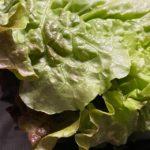 究極の葉物野菜の保存方法